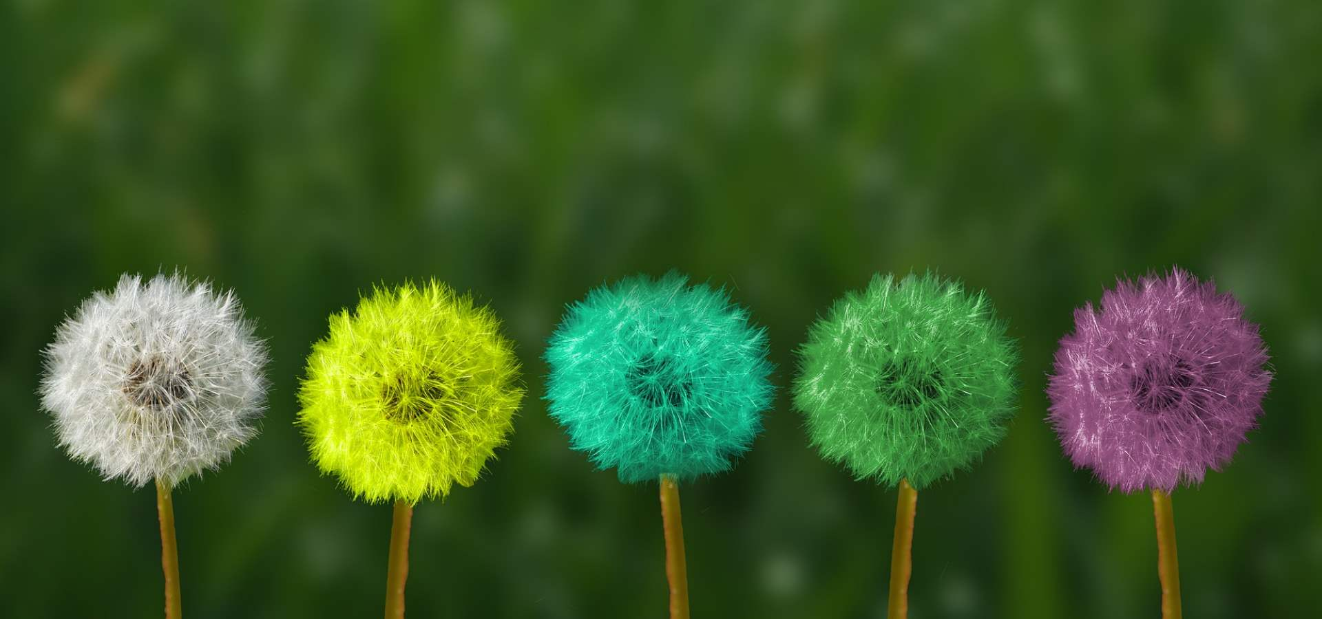 A row of colourful dandelions